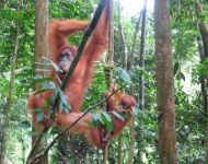 Orangoetan in Gunung Leuser nationaal park